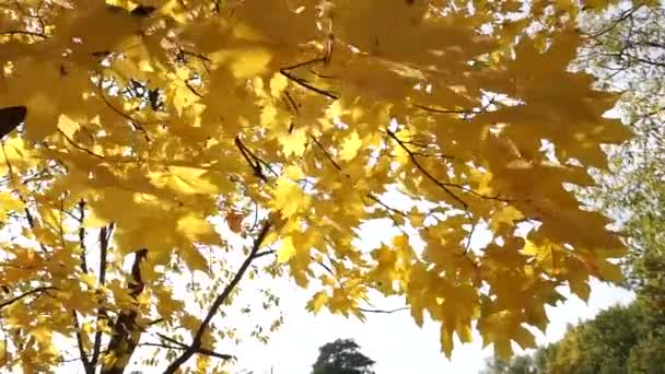 Sun shines through yellow leaves in autumn close-up. Yellow leaf on branch on background of blurred yellow leaves and blue sky close-up. Autumn Leaves swinging on tree. Sunny warm autumn concept.
