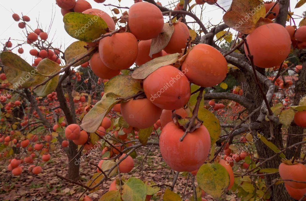 Permissons in the garden, autumn in Spain