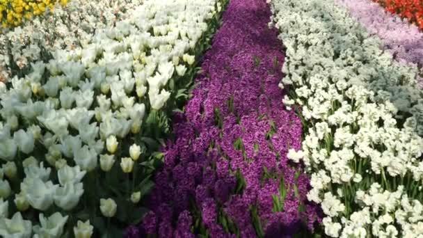 Keukenhof park in Lisse, Netherlands. Tulips of different varieties in Holland