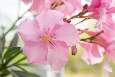 pink flowers oleander  bush