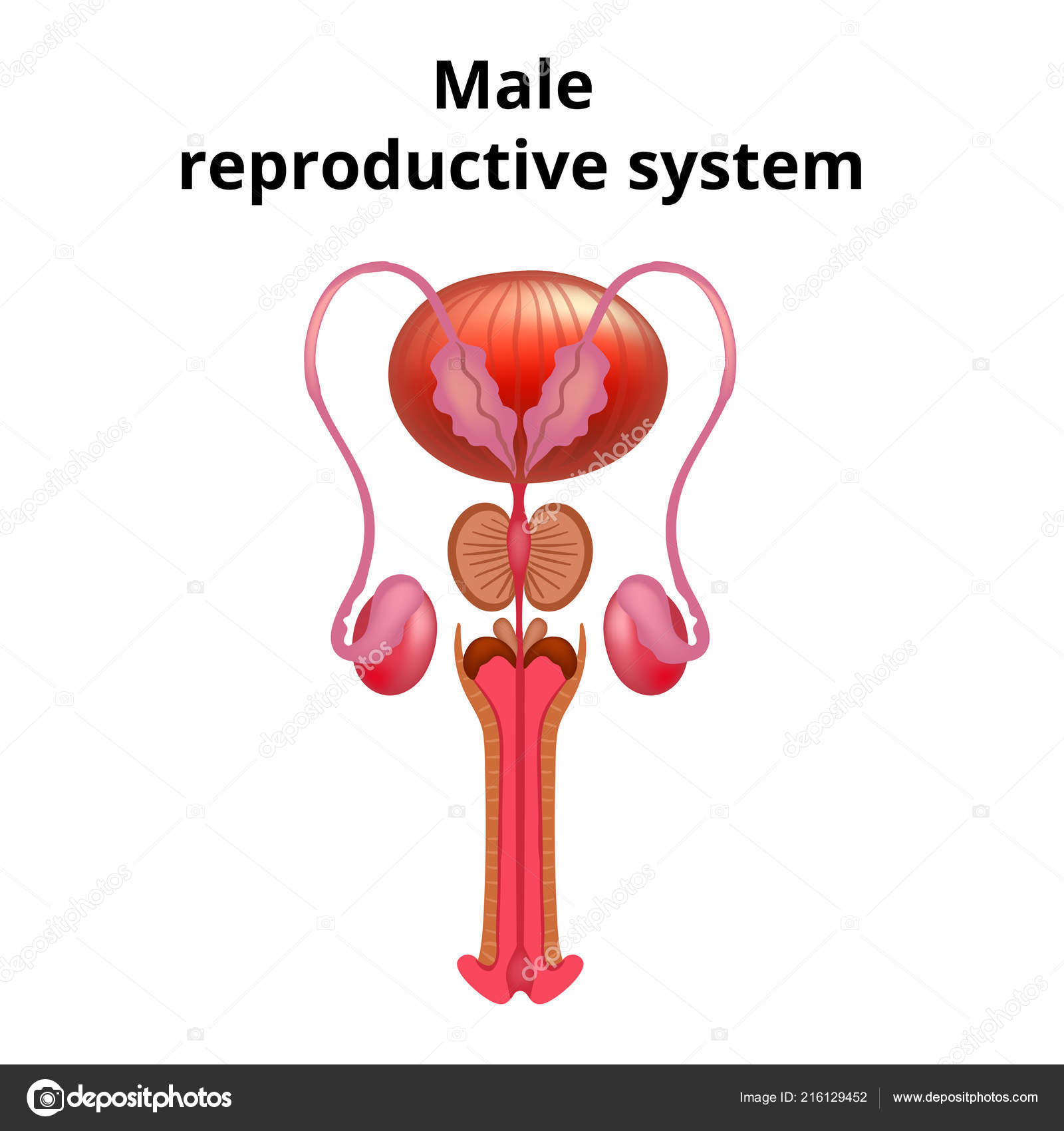 Vector Illustration Of Male Reproductive System Anatomy Stock