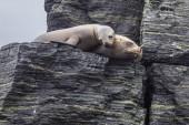 Chanaral sziget Chanaral de Aceituno, Atacama sivatag, Chile, egy csodálatos hely-a kicsapongó élet, mint a Dél-amerikai oroszlánfóka, egy szép tenger oroszlán. A vadon élő környezet a természet és a tenger élet.