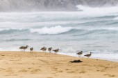 Partfutókkal vagy Zarapitos megtalálása az élelmiszer a takarmány Tunquen homokos strandon egy csodálatos hely, megfigyelni a vadon élő vad természetes környezetükben, Chile