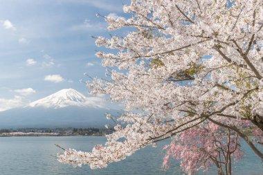 Sakura cherry blossom and Mt. Fuji at Kawaguchiko lake , Japan  in spring season