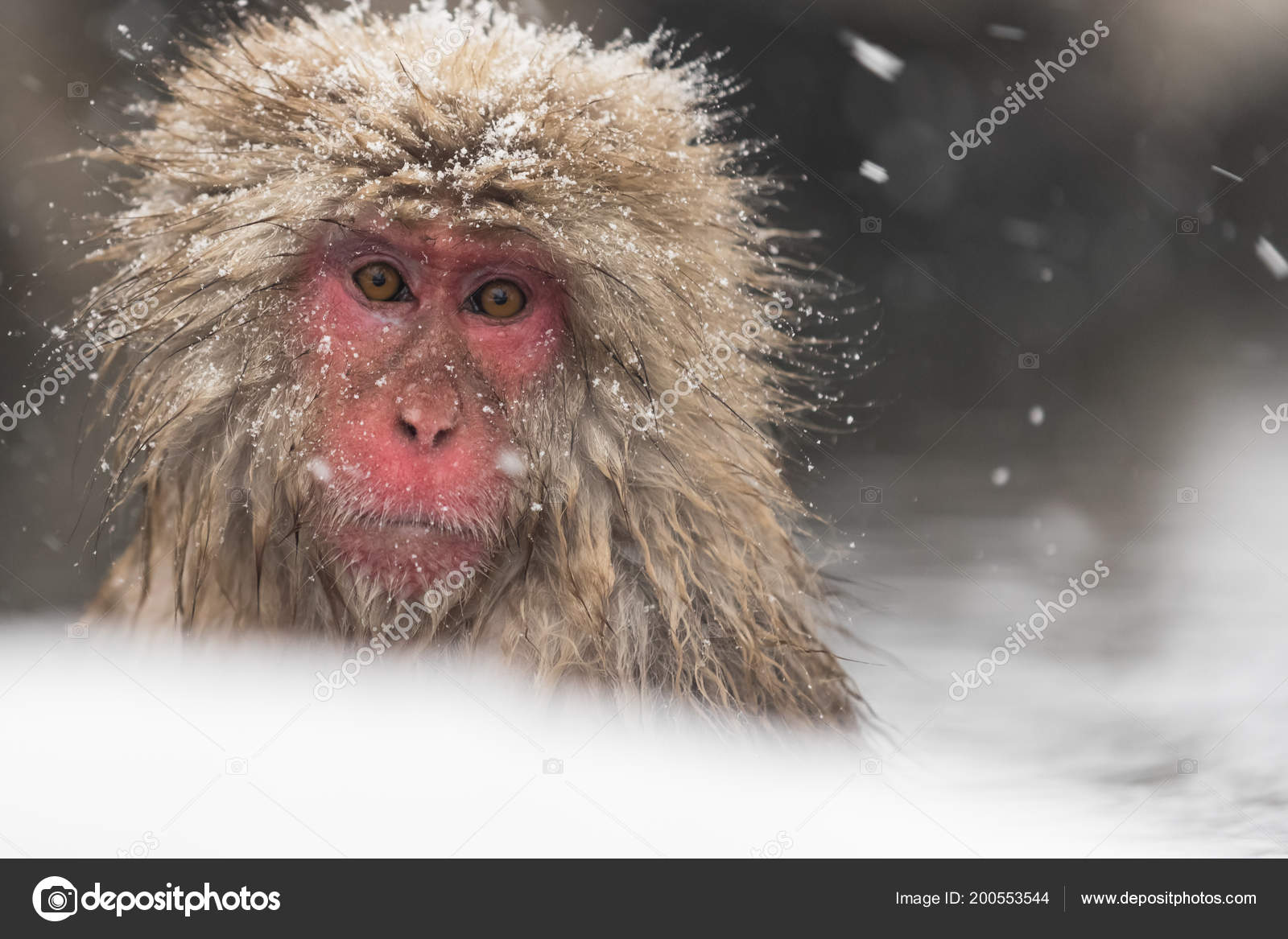 Mono Baño Los Termales Naturales Entre Nieve Parque Monos Jigokudani