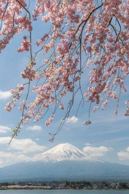 Sakura cherry blossom and Mt. Fuji at Kawaguchiko lake, Japan in spring season