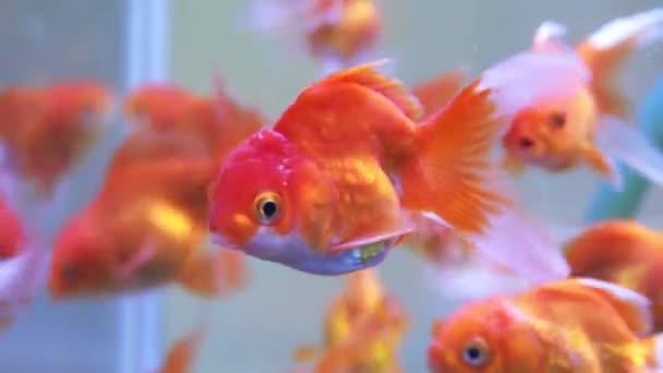 Zavřít po Goldfishech v akváriu