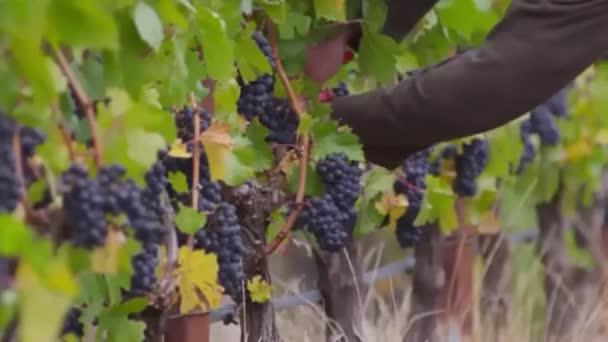 Az ember a szőlő szőlő betakarítása