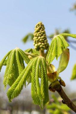 Chestnut bud tree in spring. Horse-chestnut outside