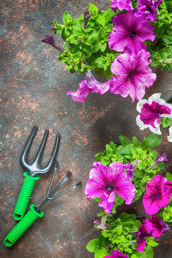 Flowers petunias and garden tools, frame on a dark background with copy space flat lay top view from above