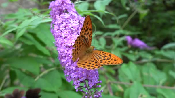 argynnis aglaia butterfly on buddleia