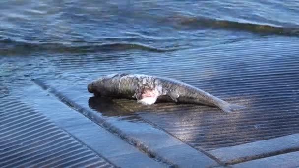 tloušť mrtvé ryby na jezeře