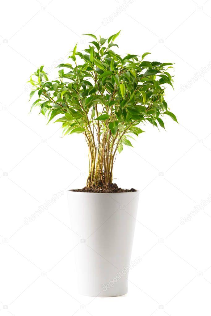 Ficus in a white pot