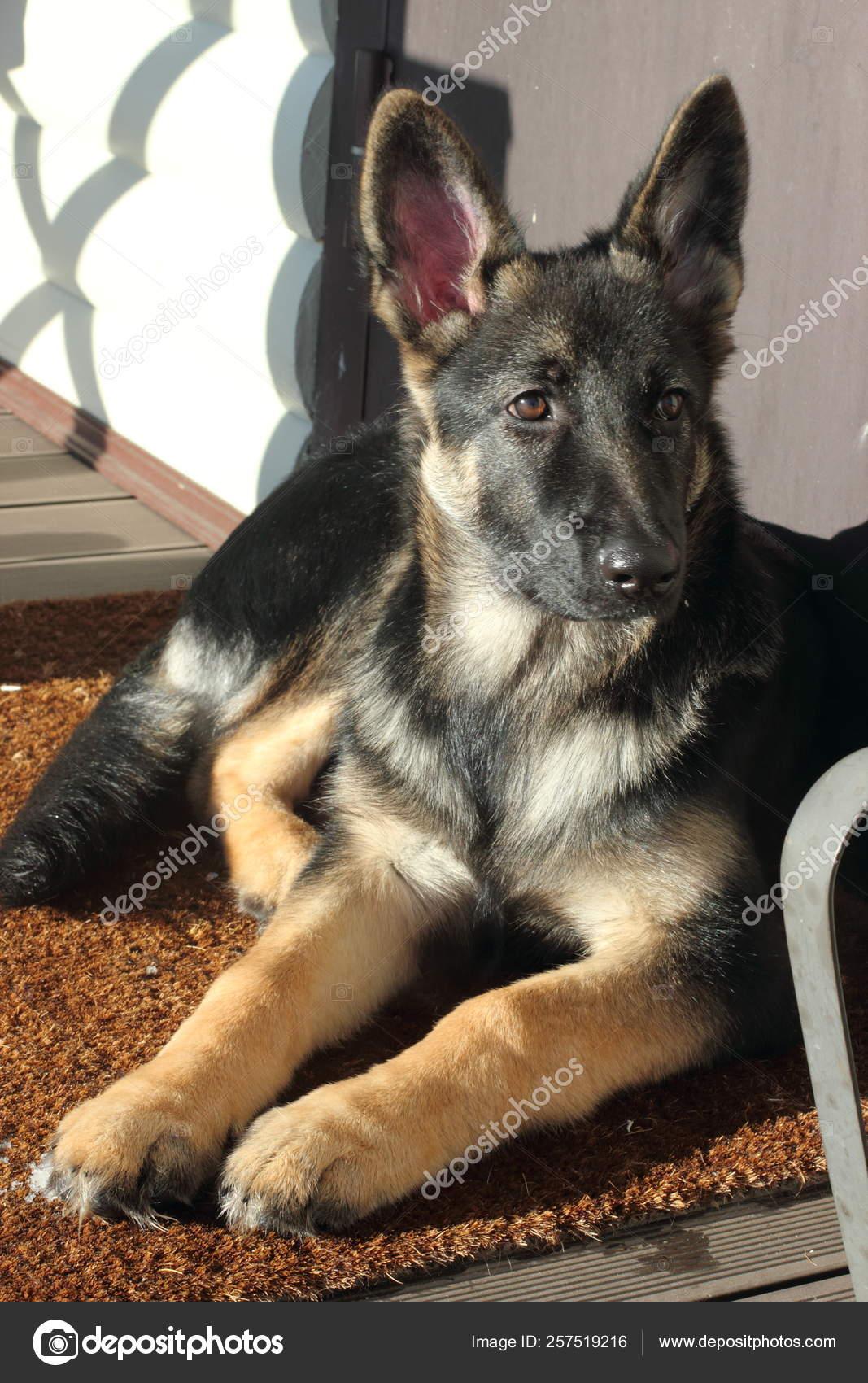 Beautiful German Shepherd Puppy Brown Terrace Stock Photo C Yayimages 257519216