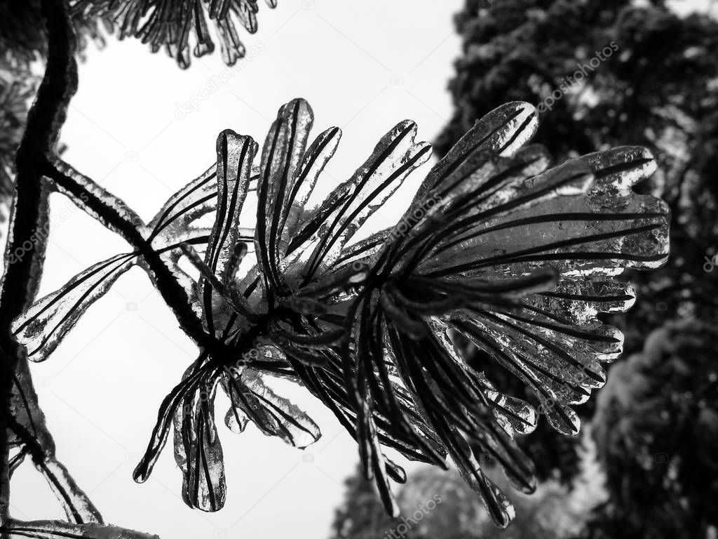 Pine with ice on the branch after storm