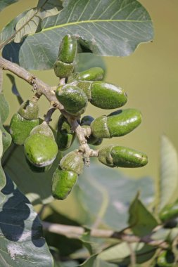 Fruits of Semecarpus anacardium. It is a deciduous tree. The nut is ovoid and smooth lustrous black. In Ayurveda, the fruit is considered a rasayana for longevity and rejuvenation.
