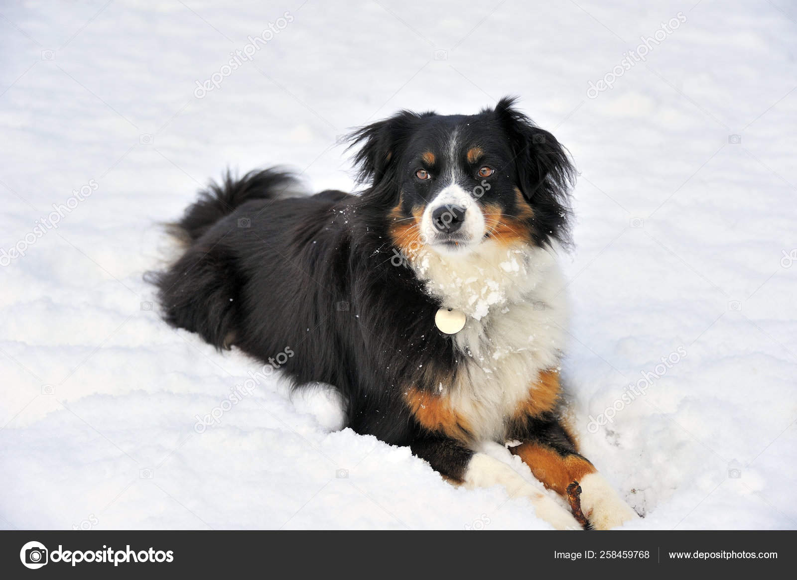 Dog Cross Border Collie Appenzell Breed Lying Snow Spyce