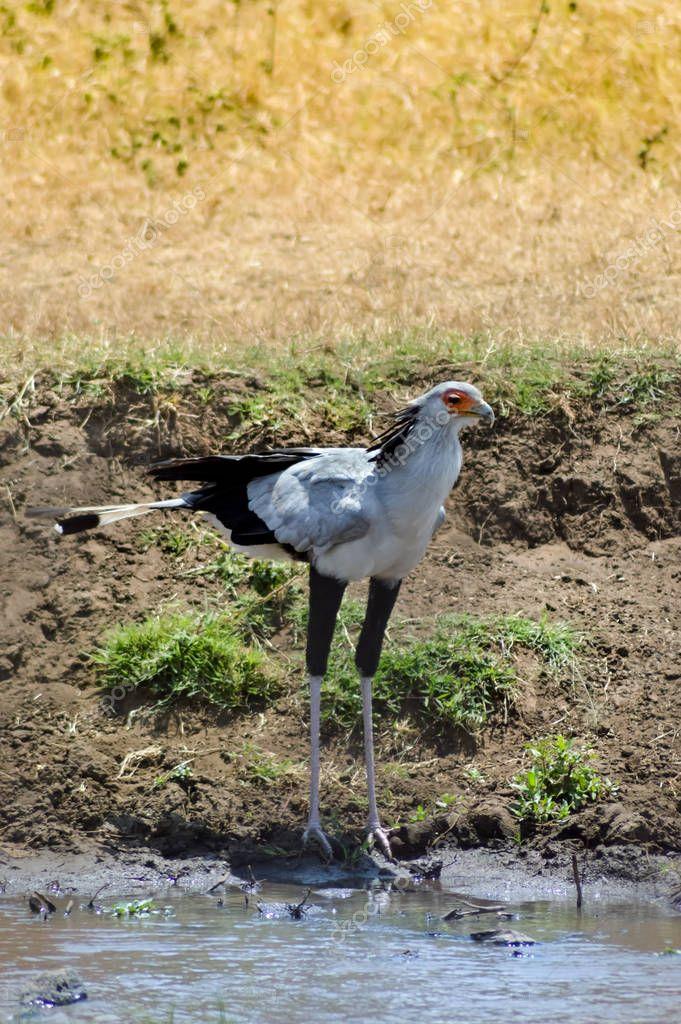 Isolated secretary bird near a waterhole in ngorogoro park in Tanzania