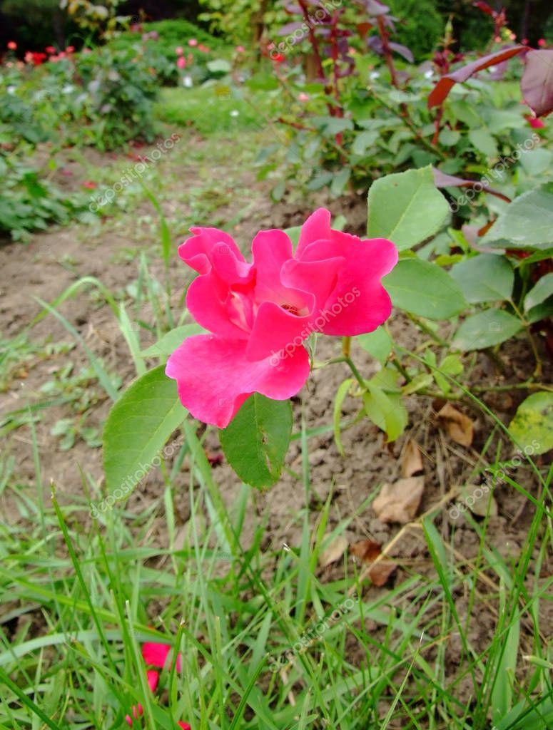 Red Favorite Rose , Rosaceae Family, Rosa Genre, Iasi, Romania, Floribunda ,Tantau Math, 1954