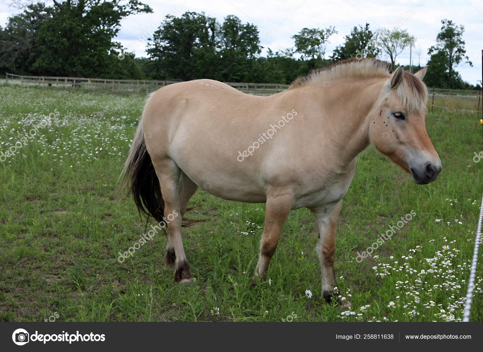 Norwegian Fjord Horse Feeding Grass Field Stock Photo C Yayimages 258811638