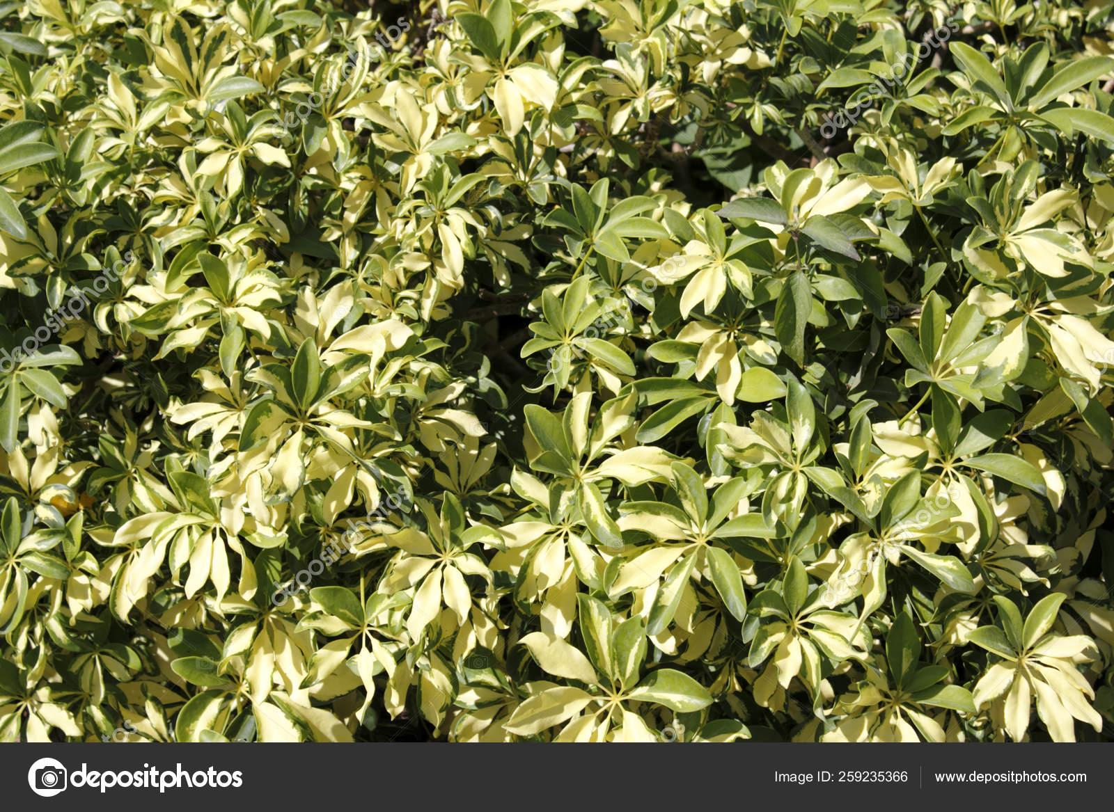 Sunny Background Variegated Schefflera Growing Outdoors Florida