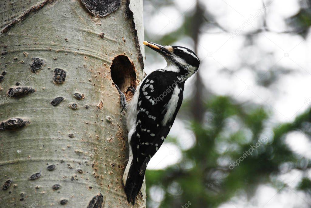 Nesting of hairy woodpecker