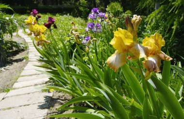 Iris in the botanical garden