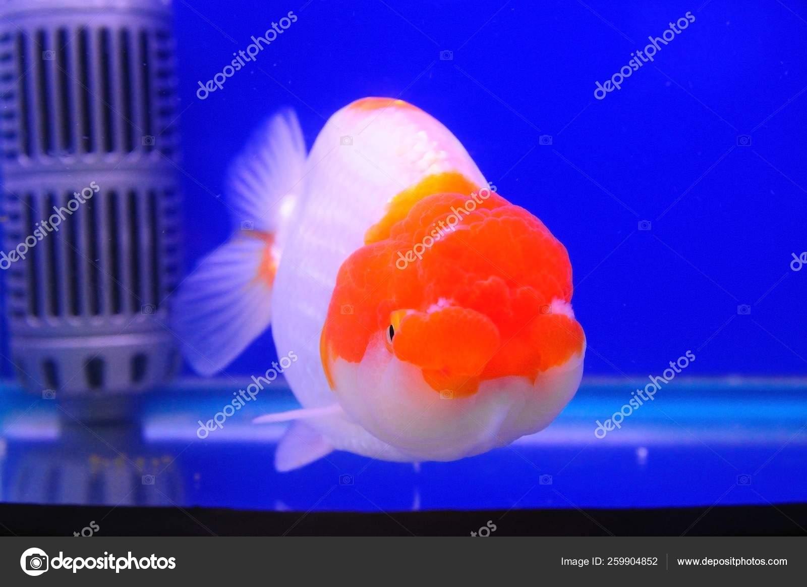 Couleur Avec Du Rouge poisson tête lion avec couleur rouge blanche dans réservoir