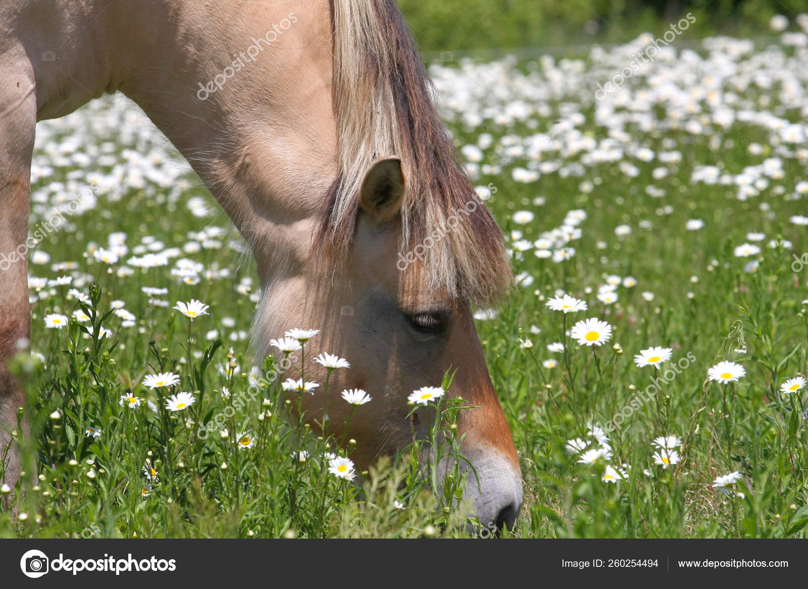 Norwegian Fjord Horse Feeding Field Eyed Daisy Flower Stock Photo C Yayimages 260254494