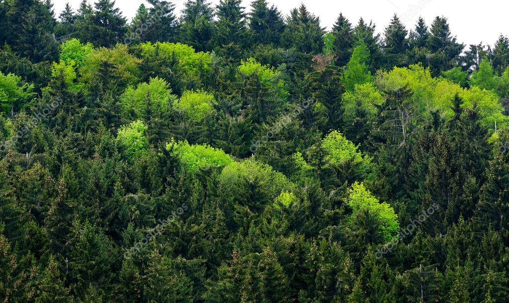 Фотообои Healthy green trees in a forest of old spruce, ecosystem and healthy environment concepts and background