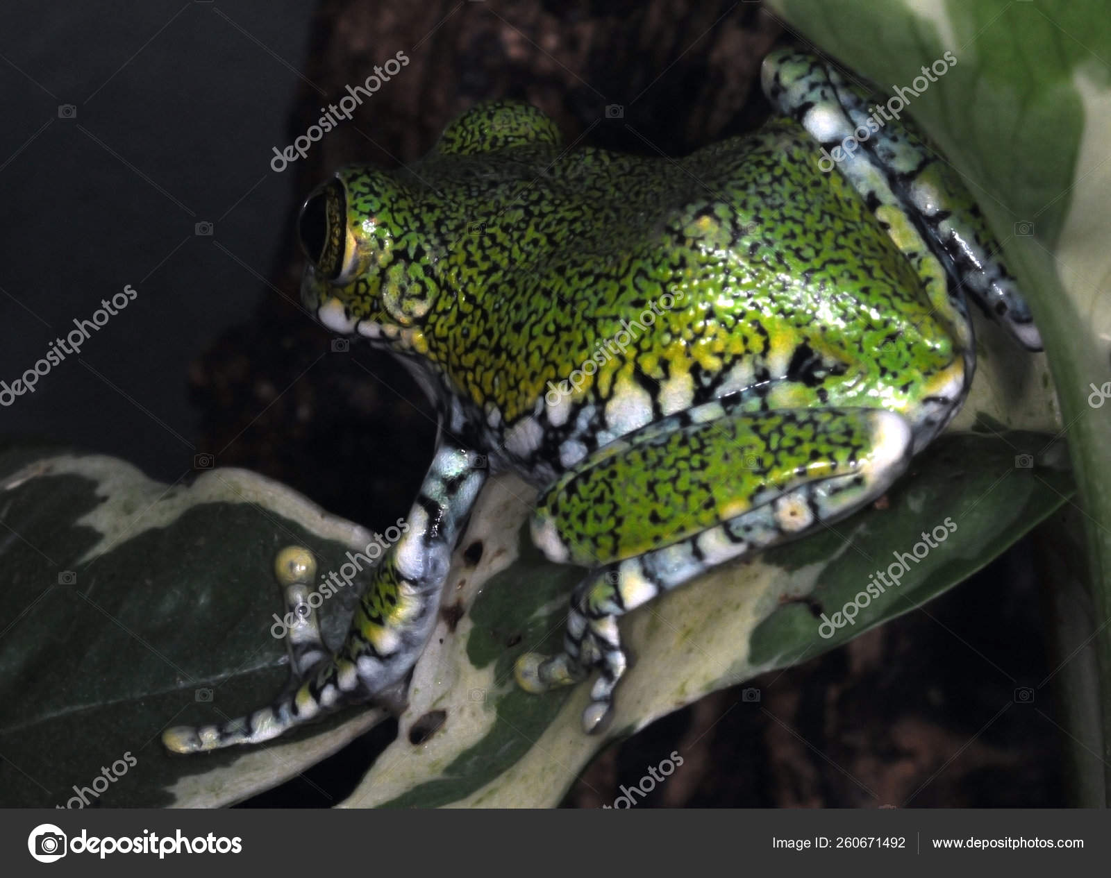 Tree Frogs Terrarium Stock Photo Image By C Yayimages 260671492