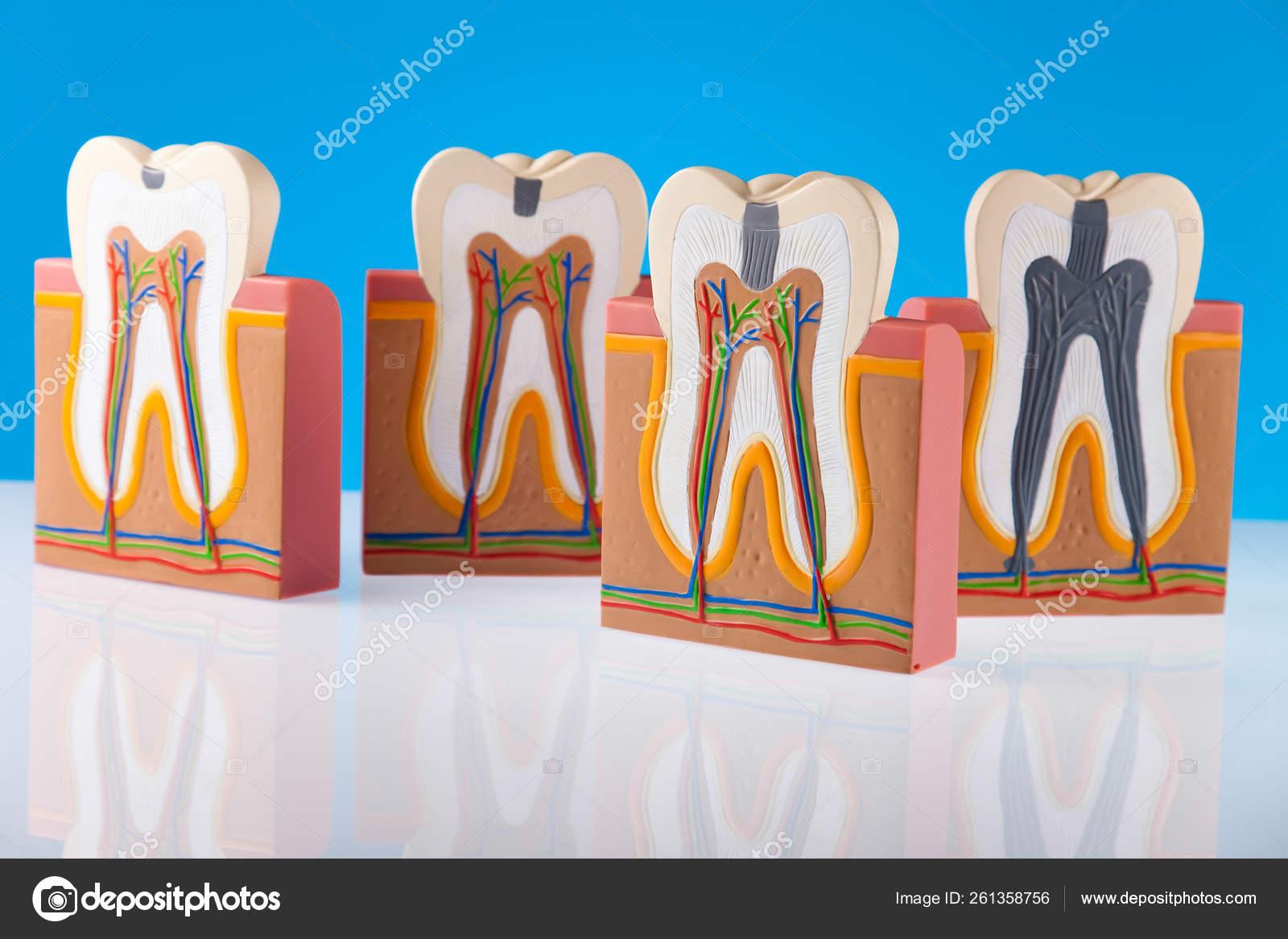 Estructura Dental Humana Concepto Tono Colorido Brillante