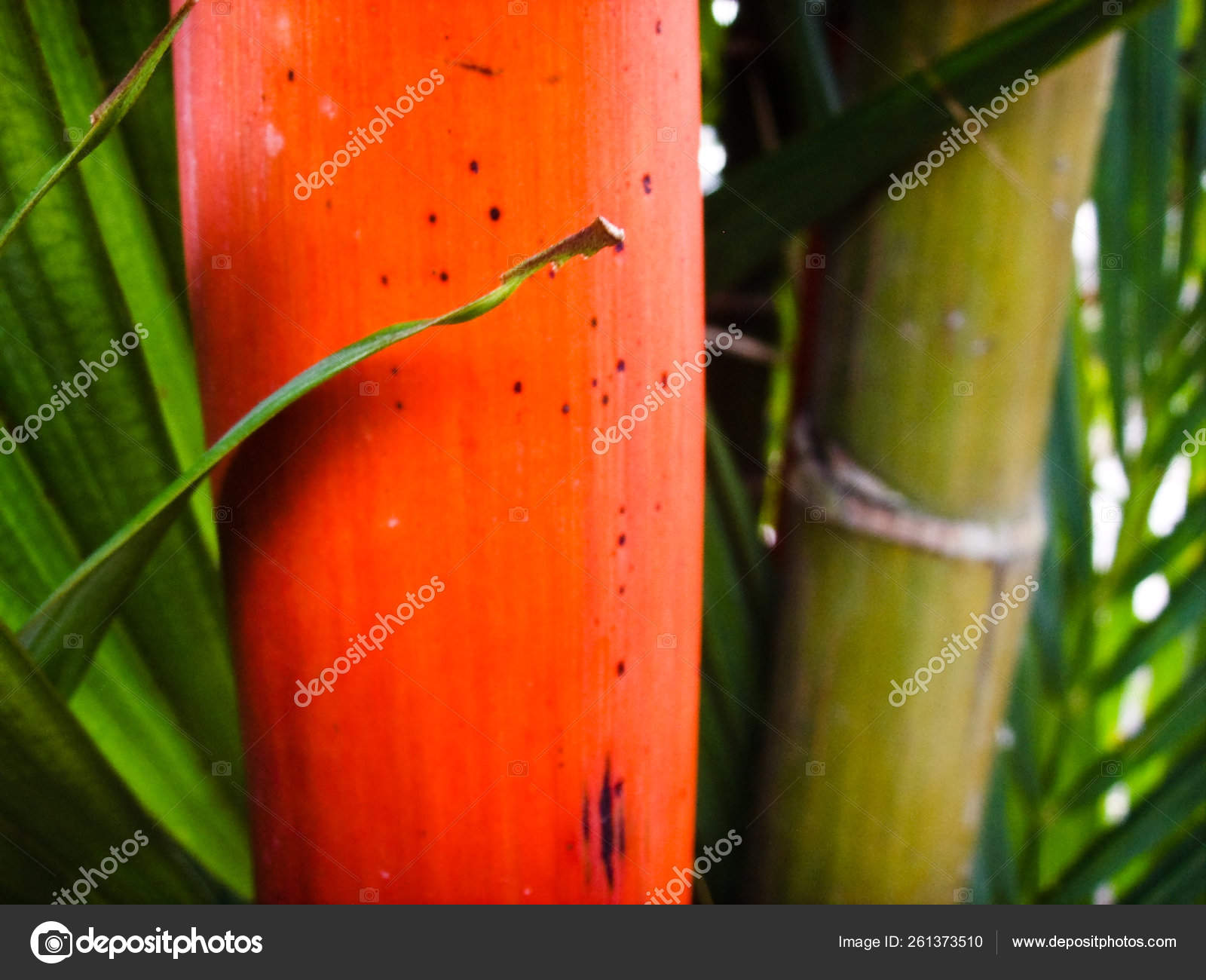 Red Green Bamboo Plant Green Leaves Stock Photo C Yayimages 261373510