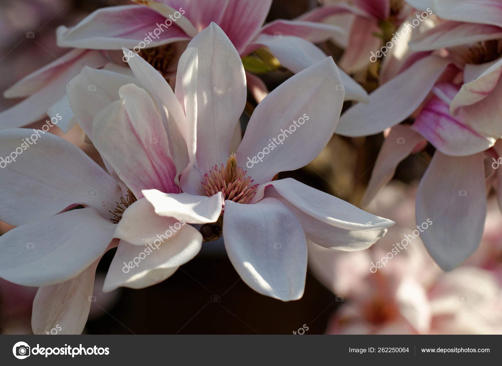 Flores Primavera Uma Arvore Magnolia Stock Photo C Yayimages 262250064