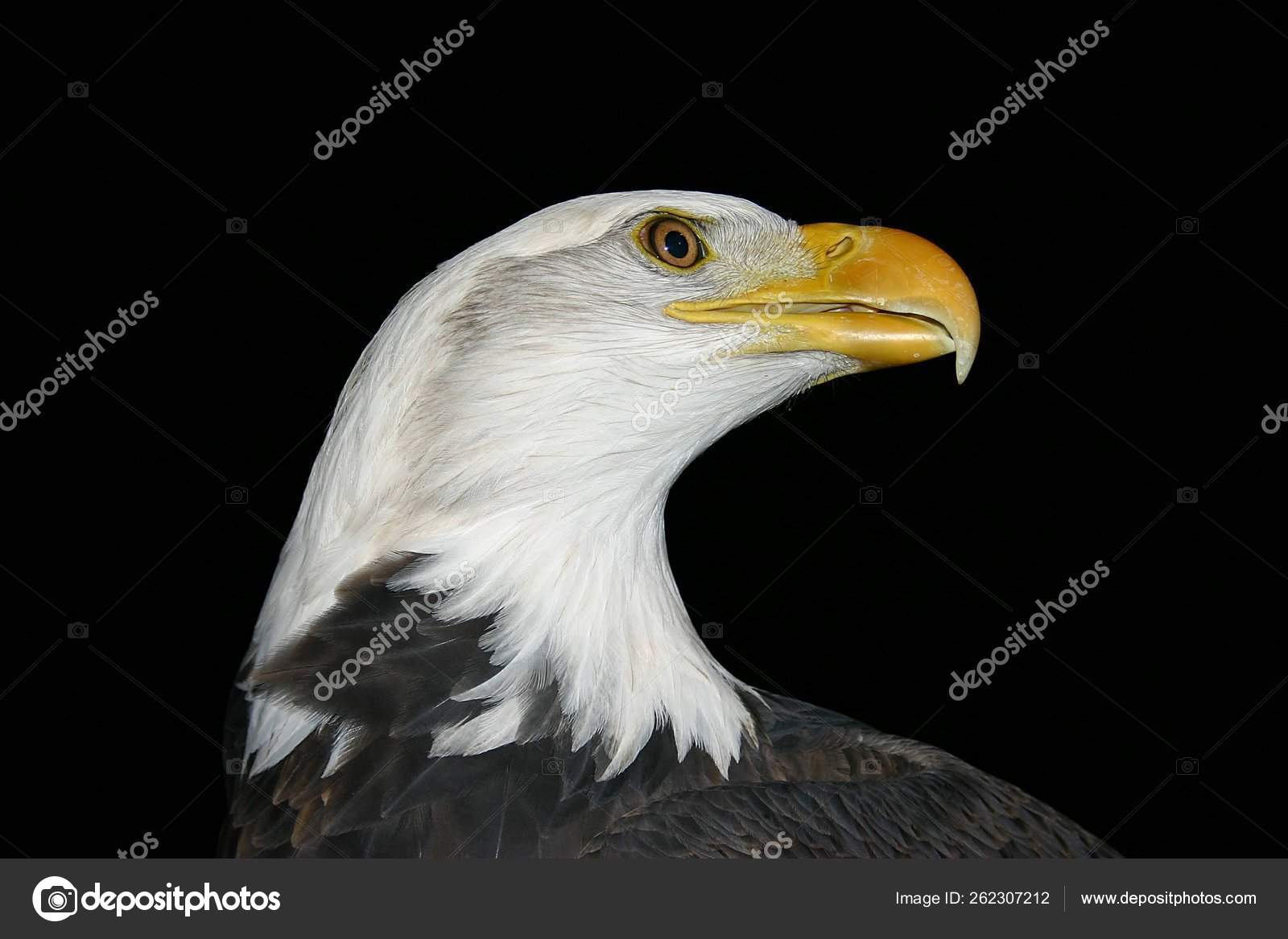 Very Nice Profile Beautiful Year Old Bald Eagle Stock Photo C Yayimages 262307212