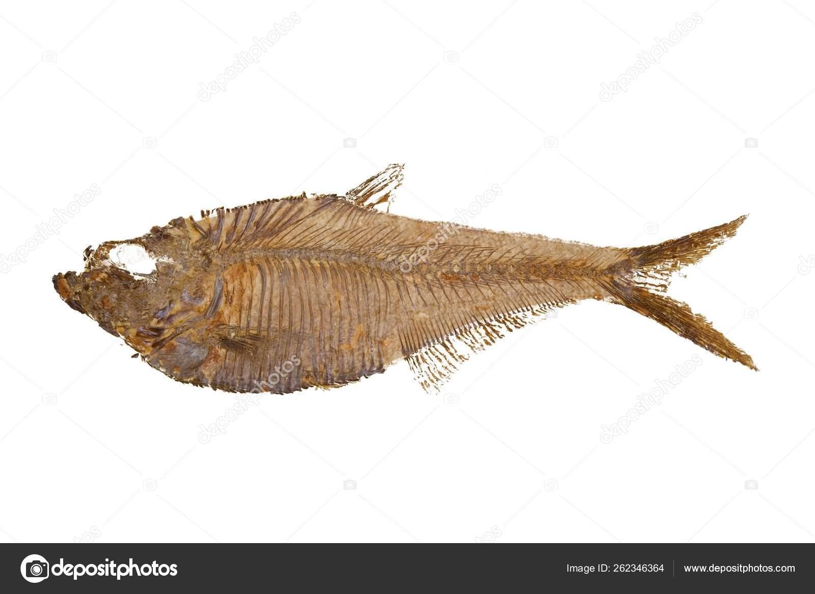 Diplomystus dentatus; Fossil Fish; Wyoming