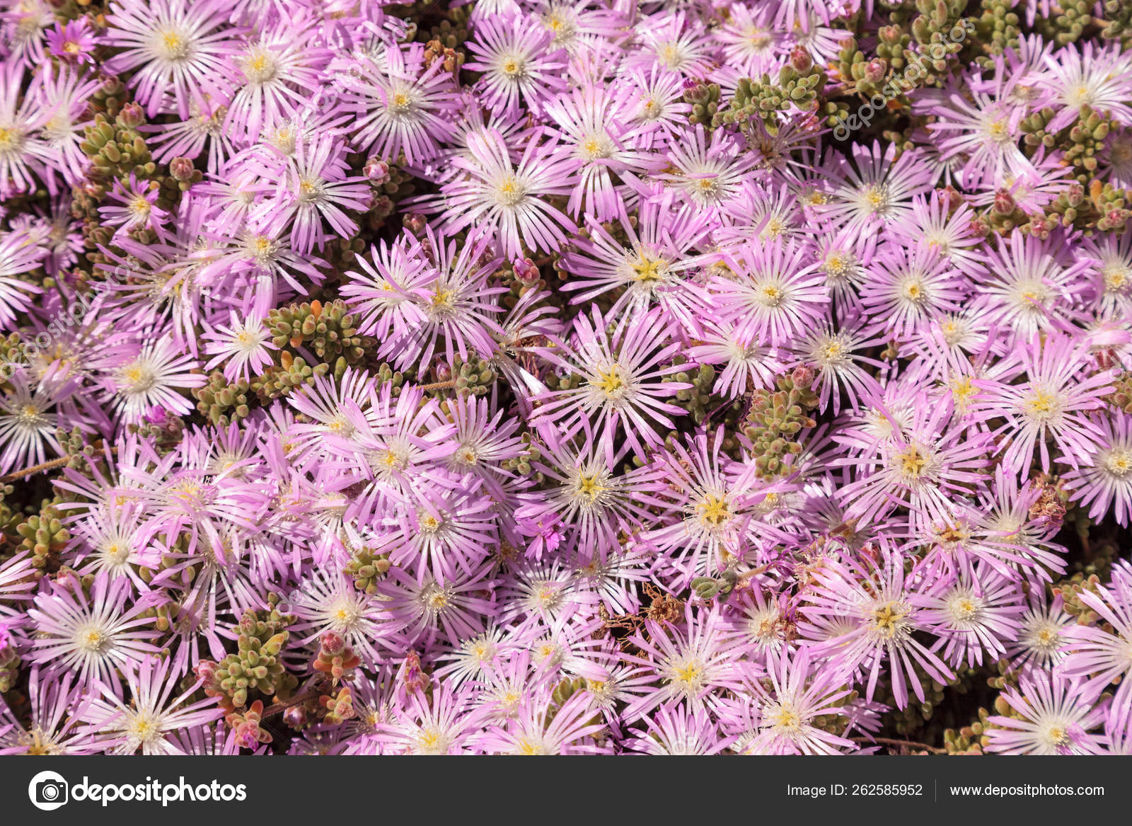 Pink Flower Ice Plant Succulent Carpobrotus Edulis Creeping Ground Cover Stock Photo C Yayimages 262585952