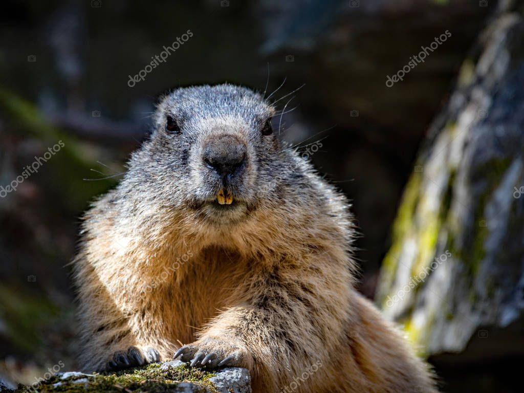 marmot of the Alps in the lookout