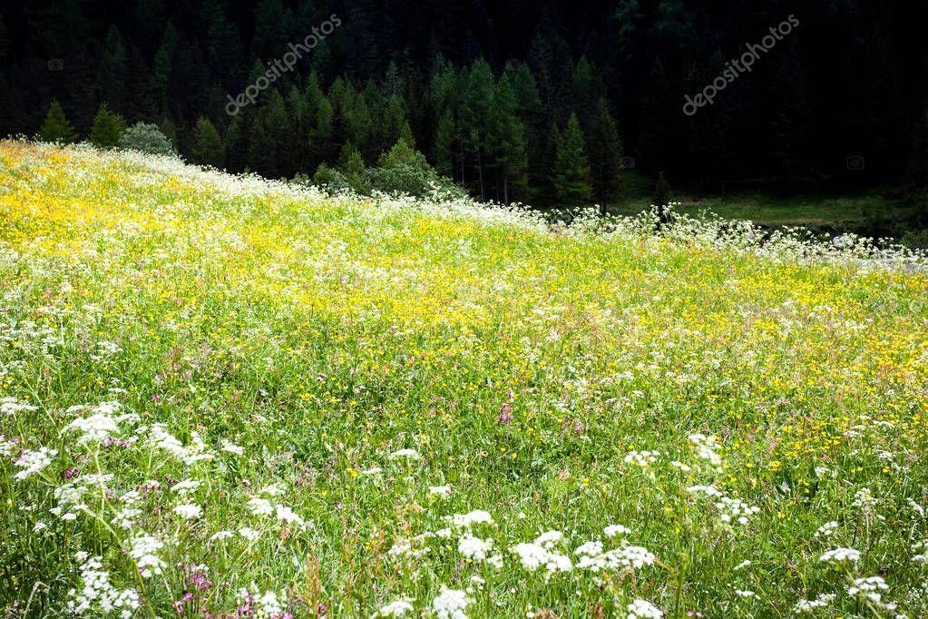 flowery mountain meadow - field