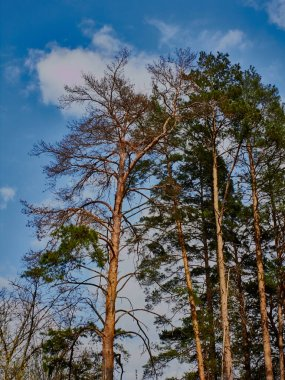 Pine forest pest bark beetle kills pines