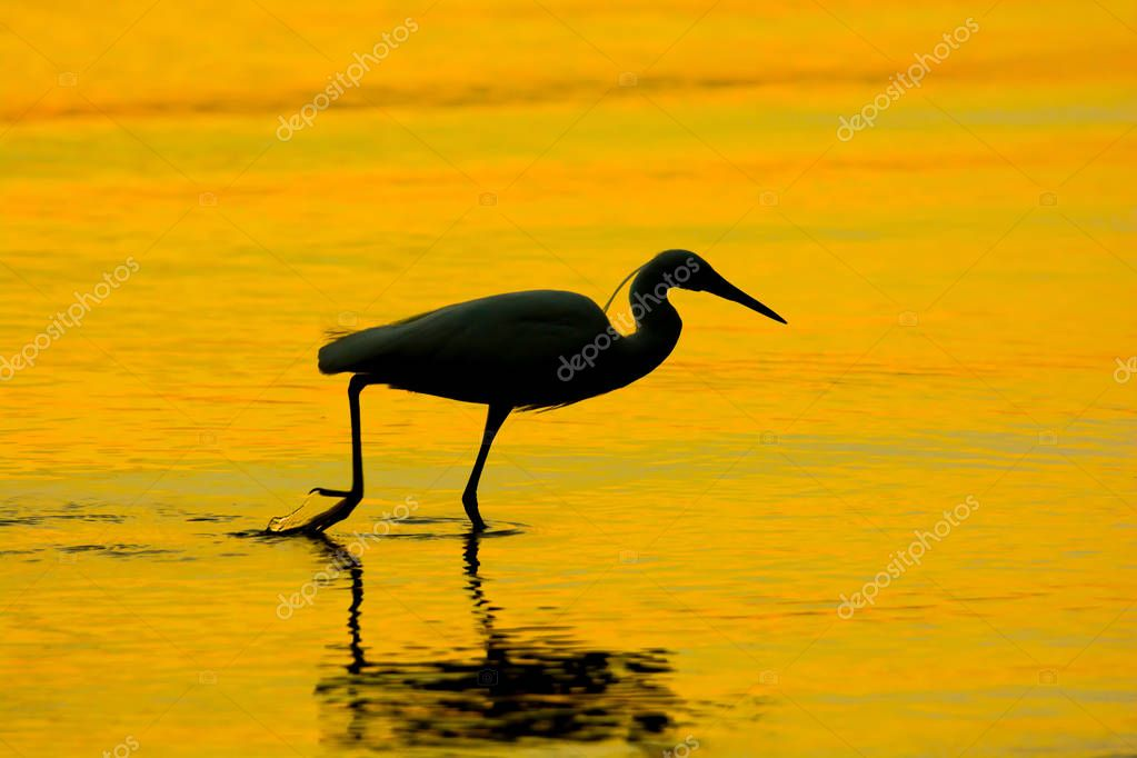 SILHOUETTE EVENING SUNLIGHT REFLECTING , PACIFIC REEF EGRET STEPS IN LOW TIDE SEA WATER FINDING FOOD TO EAT