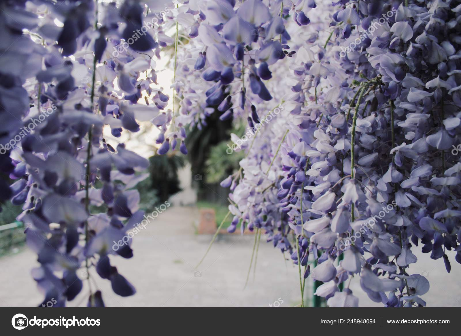 3d453649ea Wisteria Processed Vsco Preset — Stock Photo © annglyamshina gmail ...