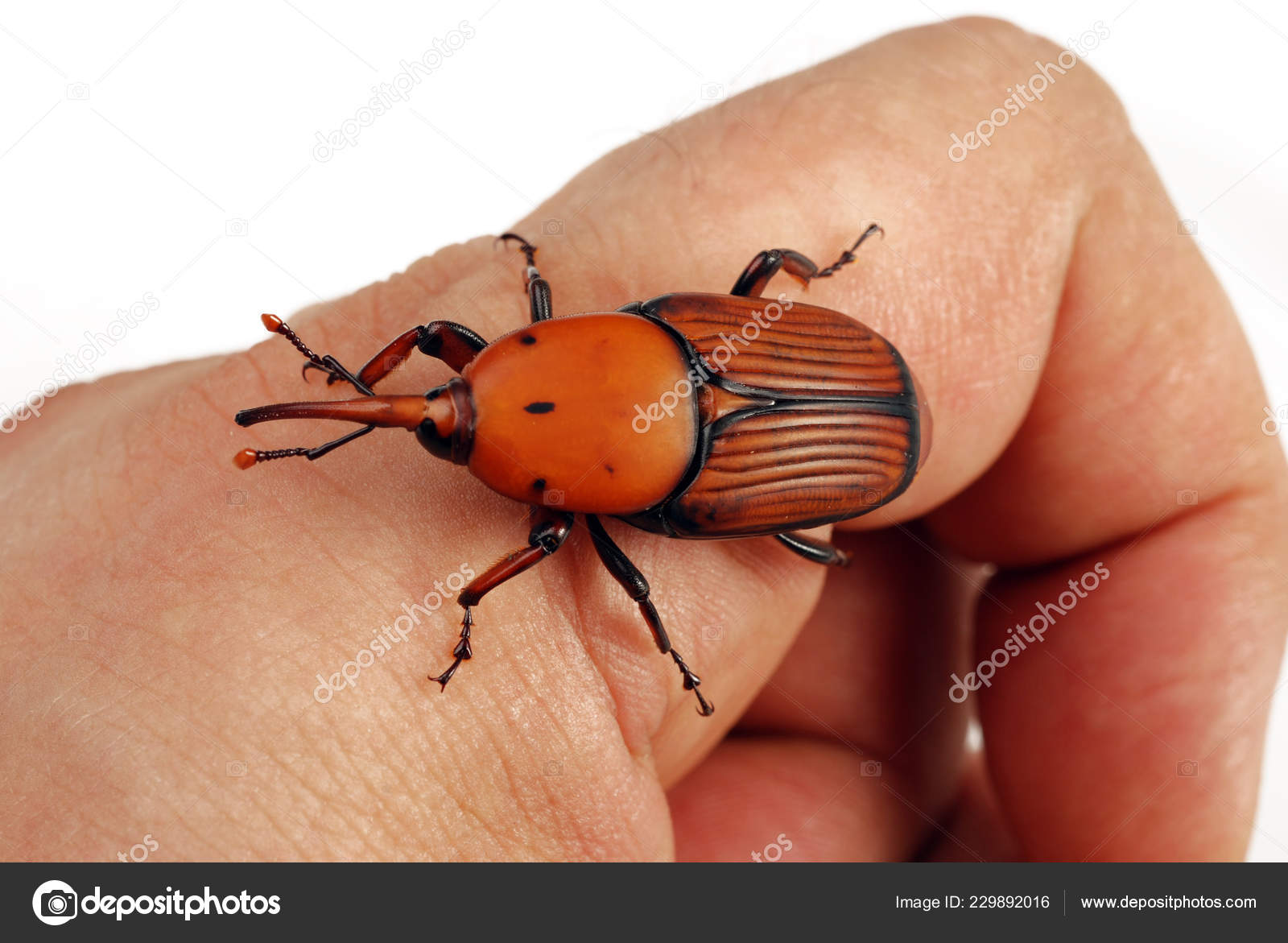 Red Weevil Insect Killer — Stock Photo © lauro55 #229892016