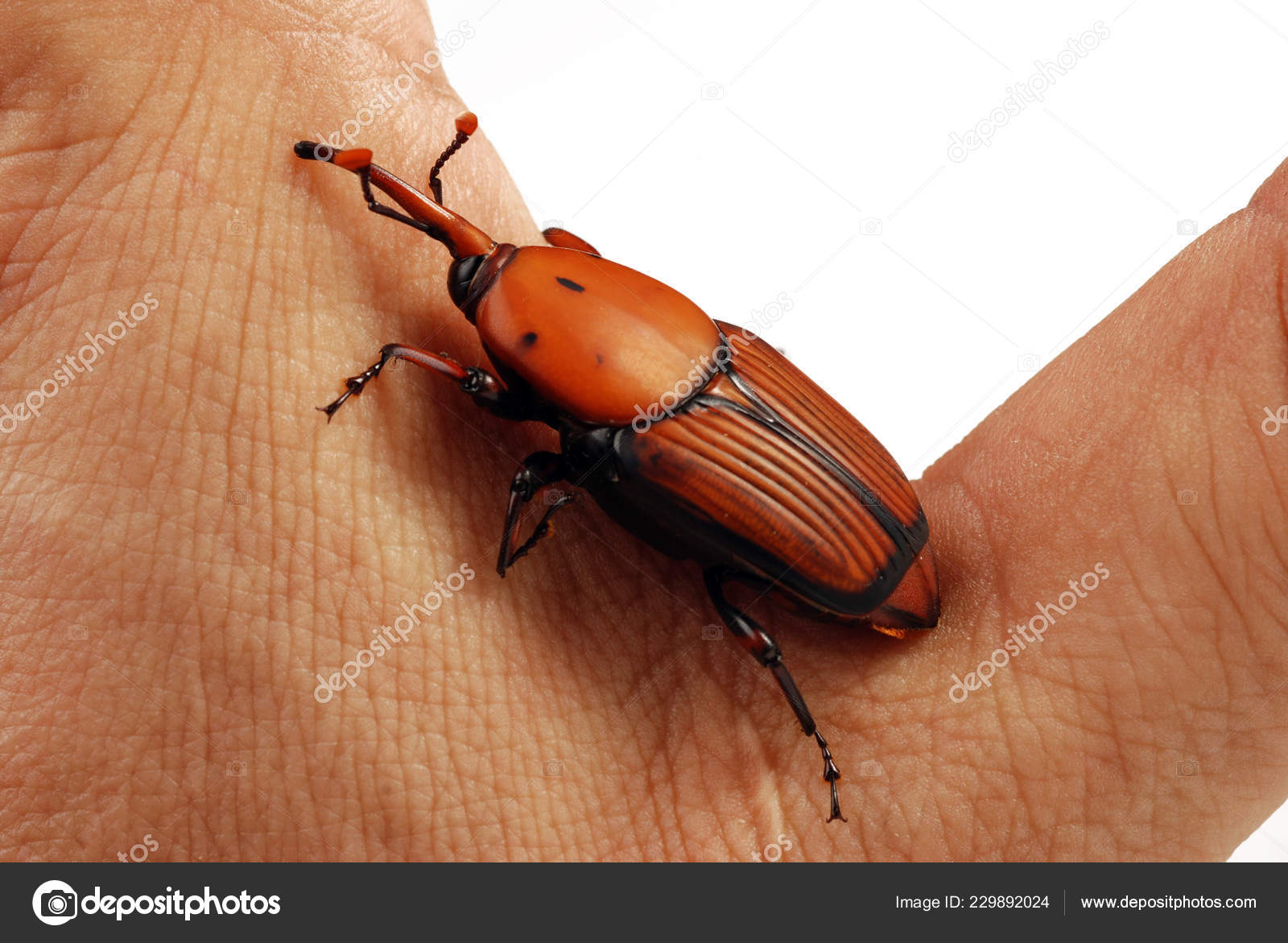 Red Weevil Insect Killer — Stock Photo © lauro55 #229892024