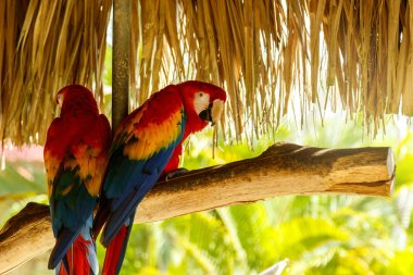 Two beautiful macaw parrots sitting on the branch