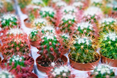 Many green and red cactus plants with spikes in small pots in garden shop. Cactus sold in store.