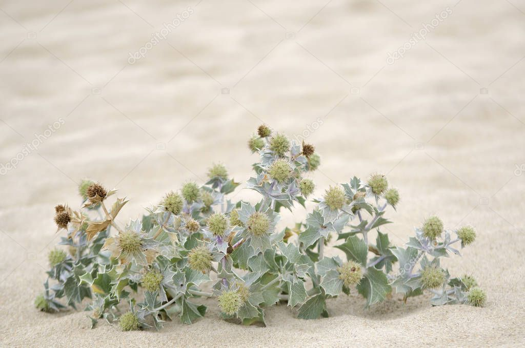 Wild plants in the sand on the coast in Galicia, Spain
