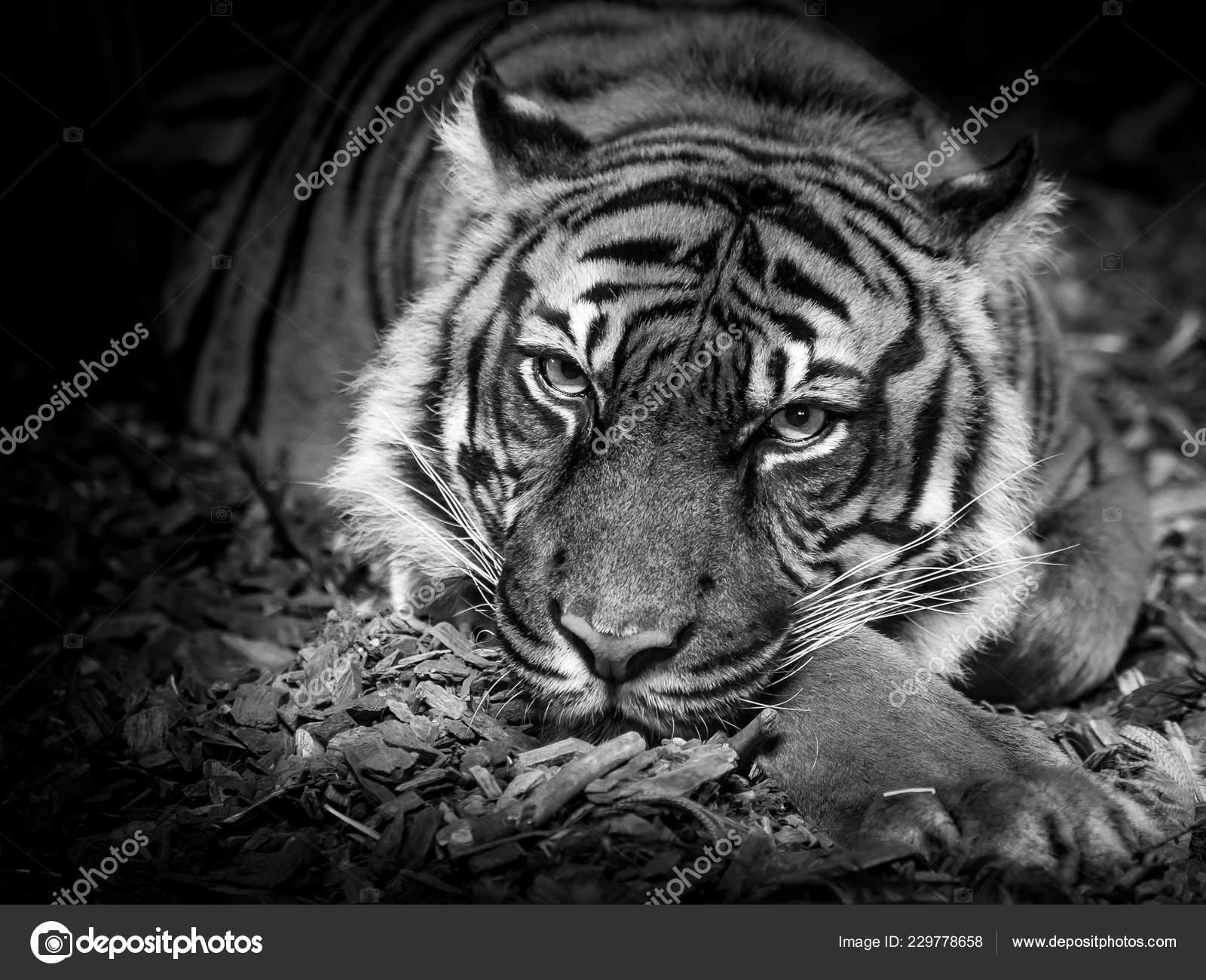 Tiger black white eyes sumatran tiger stock photo jaalbers