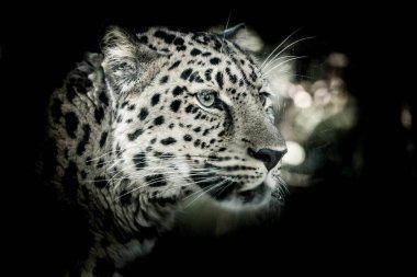 The Amur leopard (Panthera pardus orientalis) looking behind the glass.