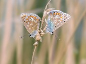 Fotografie Mating butterflies on blurred background. Common blue butterfly.